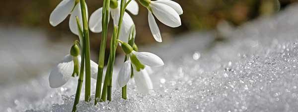 Schneegloeckchen im Schnee